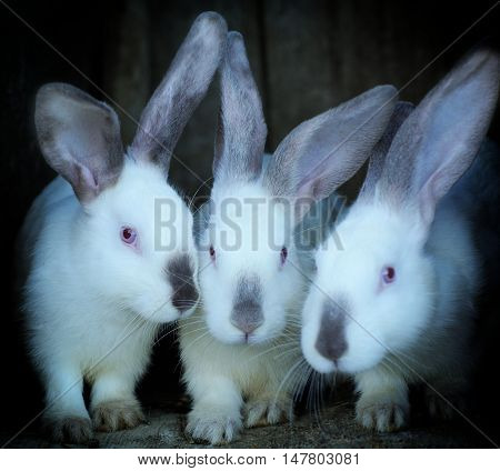 Adorable Young Bunnys In A Big Wood Cage At Farm House.