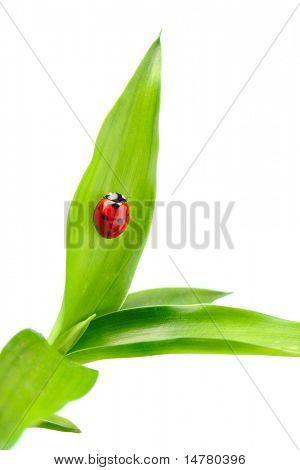 Ladybug on a leaf over white