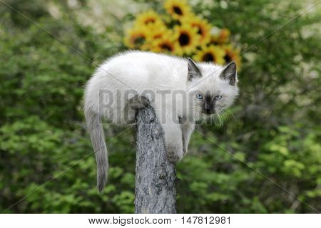 Siamese Kitten on top of fence post watching