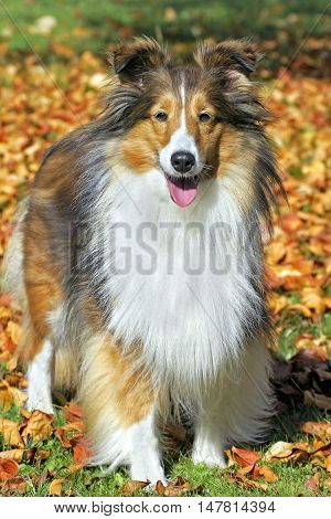Shetland Sheepdog portrait standing by leaves in autumn colors