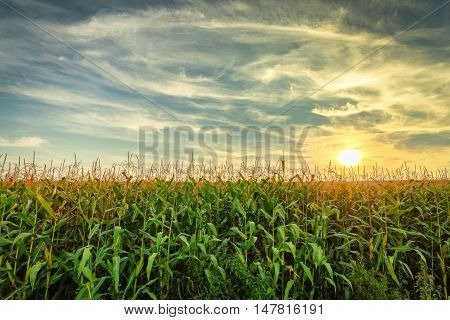 Cornfield in the summer landscape with blue sky and beauty sun shining