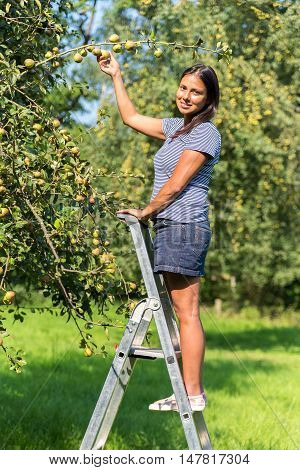 Dutch woman on ladder picking pears from pear tree