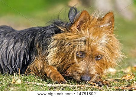 Close up of Australian Terrier on grass playing with stick