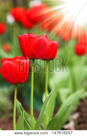 a nice  very Beautiful red tulip flower