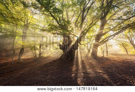 Magical Old Tree With Sunrays In The Morning. Foggy Forest