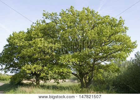 Two young oak trees stand side by side on the edge of a field, Yorkshire, UK