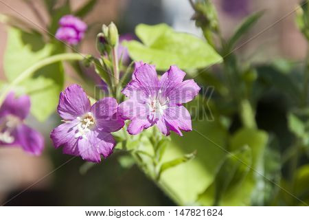 Delicate pink blooms of a Wild Geranium in flower, Sheffield, UK