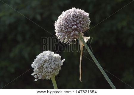 Delicate white flower balls head of onions in flower, Sheffield, UK