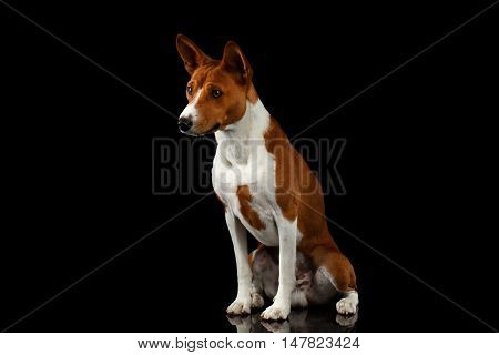 Pedigree White with Red Basenji Dog Sitting on Isolated Black Background