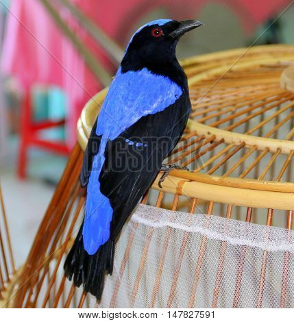 male Asian Fairy-bluebird perching on top of a round bamboo cage, Songkhla, Thailand