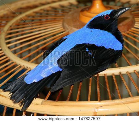 male Asian Fairy-bluebird sitting on top of a bamboo cage, Songkhla, Thailand