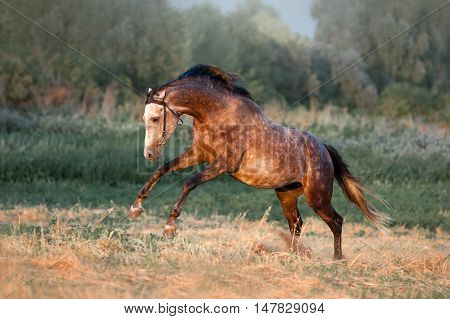 The beautiful gray stallion dapple galloping across the field in the last rays
