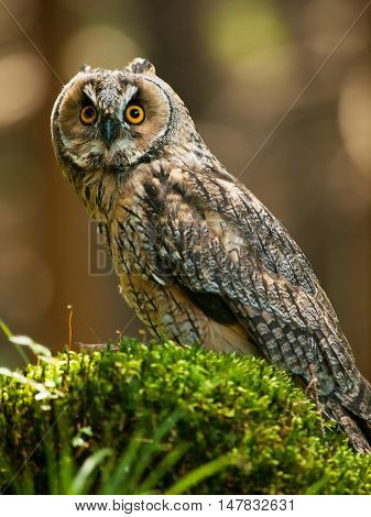 Long-eared owl siting on the stump in forest - Asio otus otus