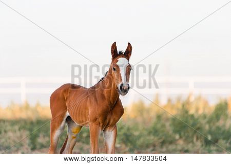 The little brown colt who two days old. Portrait of a baby horse on a light background in the paddock.