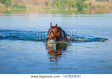 Beautiful brown stallion swimming in the lake on a neutral background. Horse swims in the pond in the summer.