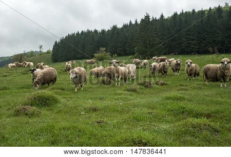 Sheep grazing on a meadow on a cloudy day