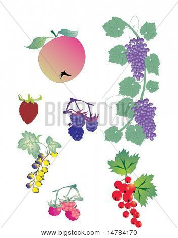 different berry collection composed of grapes, strawberry, blackberry, currant, gooseberry, apple and raspberry