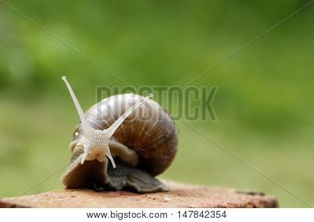 Slow snail moving along a brick in the garden