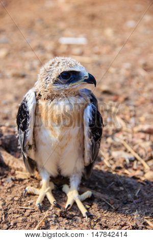 young falcon bird sitting on the ground