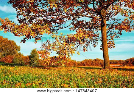 Colorful autumn nature -yellowed autumn deciduous oak in autumn sunny forest. Autumn landscape with orange autumn oak tree. Sunny autumn landscape of autumn nature. Autumn landscape in sunlight