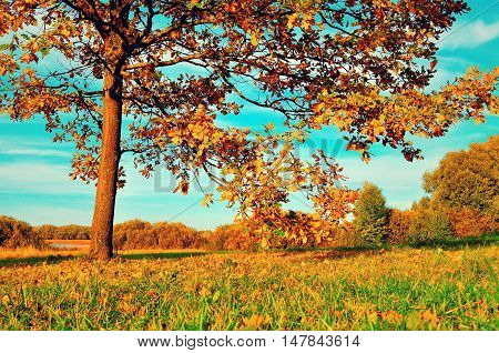 Colorful autumn meadow -yellowed autumn deciduous oak in autumn sunny field. Autumn landscape with orange autumn oak tree. Sunny autumn landscape of autumn nature. Autumn nature in soft evening light