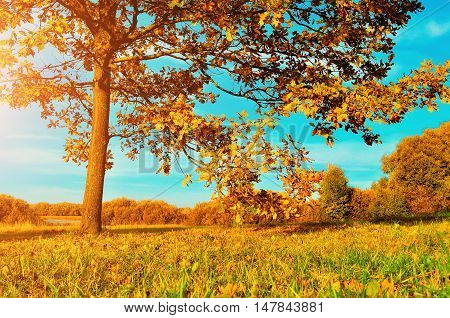 Colorful autumn meadow -yellowed autumn deciduous oak in autumn sunlight. Autumn landscape with orange autumn oak tree. Sunny autumn landscape of autumn nature. Autumn nature in soft evening light