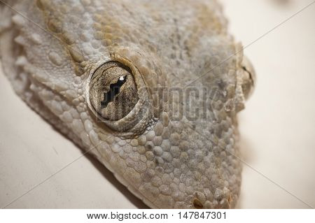 Gray house Gecko living inside a European house
