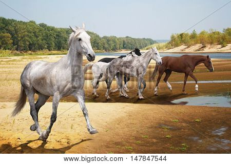 a small herd of horses runs summer day to the river to drink