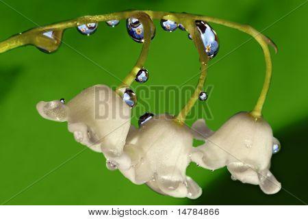 flor de lírio-do-vale, com gotas e reflexão de miosótis