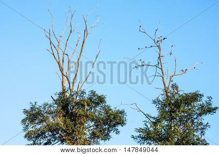 Birds resting on tree limbs at the top in Monmouth Battlefield State Park in Freehold New Jersey.