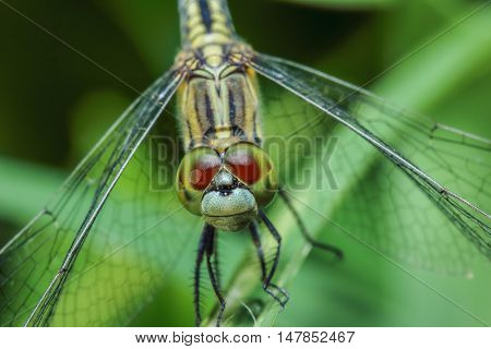 Dragonfly Tigers on green grass leaves close up