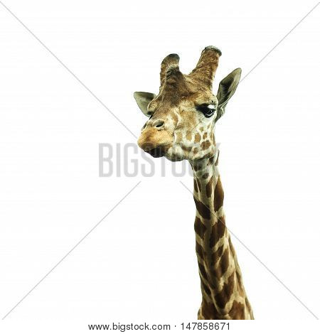 giraffe looking into the camera on a white background