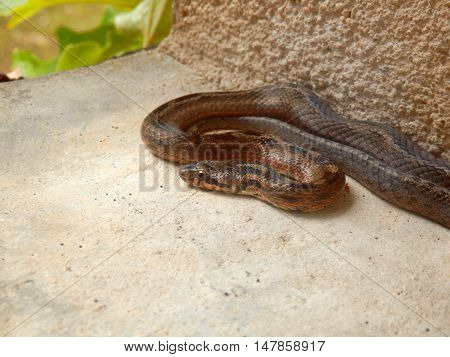 Vipera berus, the common European adder or common European viper found on a bedroom window cill