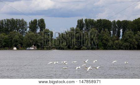 Beautiful swans flying over the Danube river in Zemun,Serbia