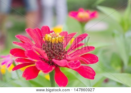 Red flower in garden,in the morning, good weather