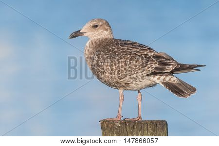 Herring gull sitting on bollard looking out for some food