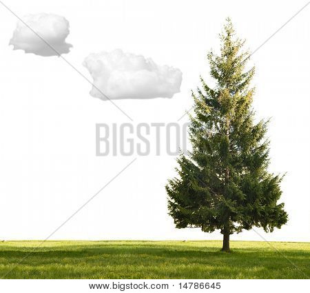 single fir and green grass isolated on white background