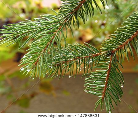 Small drops of rain caught on those green spruce