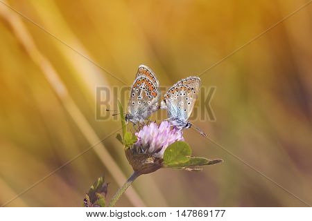 two blue butterfly sitting on a flower clover on a Sunny summer day