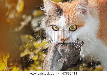 beautiful ginger cat caught a big grey rat