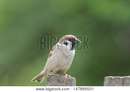 the bird Sparrow sits on a fence with his beak full of insects
