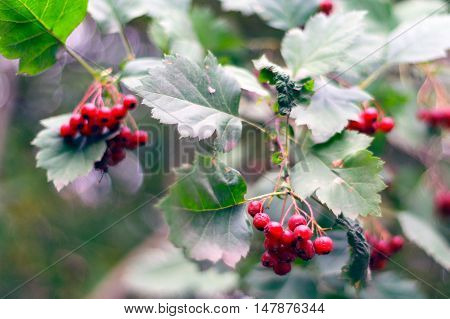 Brunch with red fruit of hawthorn. Crataegus sanguinea.