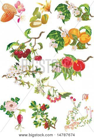 illustration with ripe peach, cherry, apricot and flowers