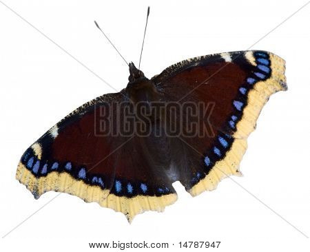 dark red with blue butterfly isolated on white background
