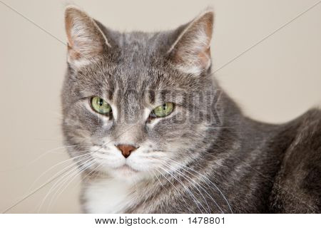 Tabby gris