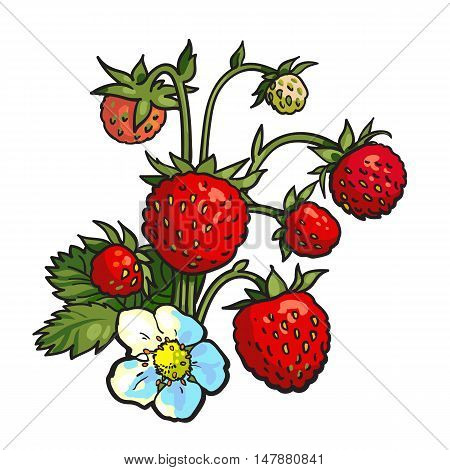 Bunch of wild strawberry, realistic drawing vector illustration isolated on white background. Ripe and green wild strawberry with blossom and leaves, botanical illustration, design element