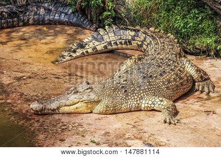 the terrify crocodile glance at the camera