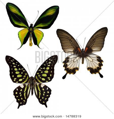 three tropical butterflies isolated on white background