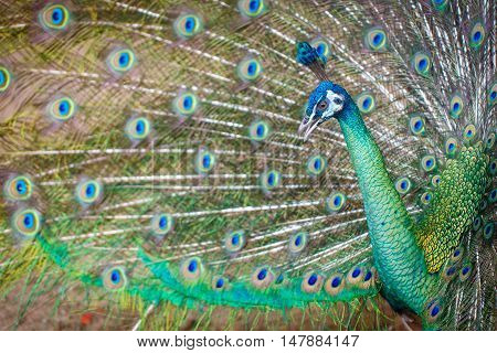 Peacock spread tail-feathers bird animal color detail