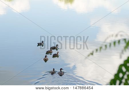flock of ducks floating on water with reflection sky